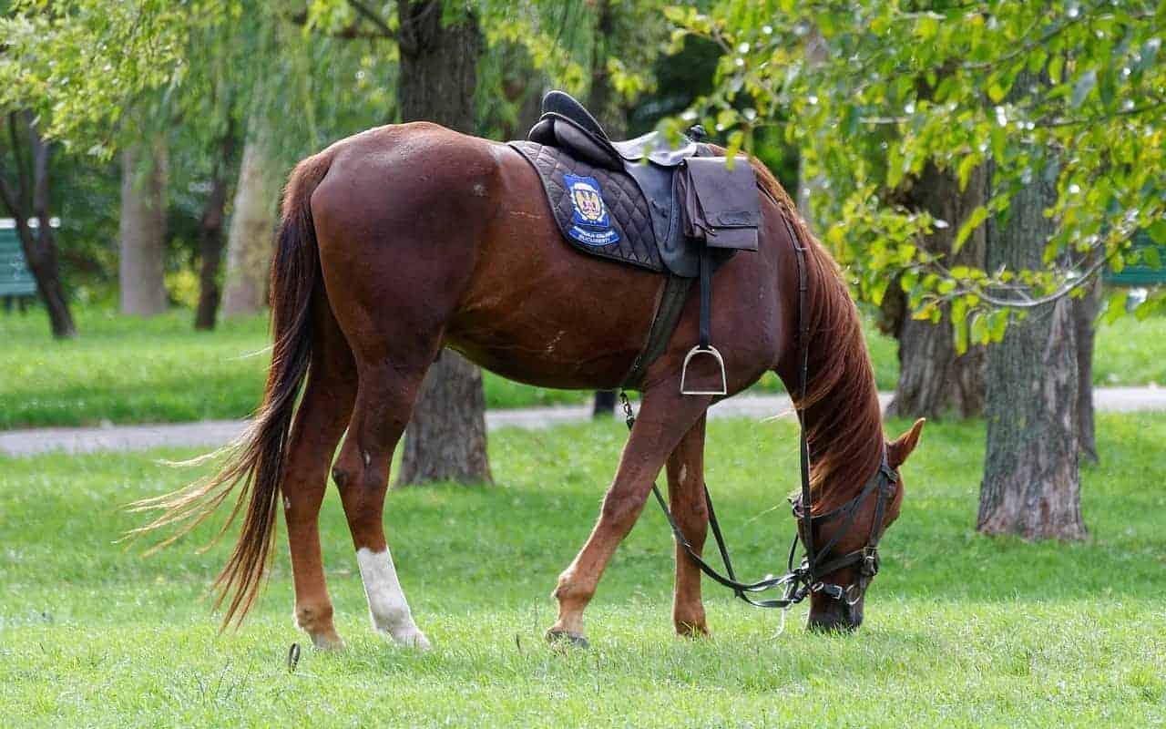 silver royal saddle